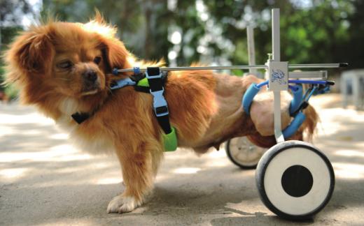 """乌鲁木齐一只流浪小狗行动困难 小区居民网购""""轮椅"""""""