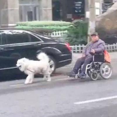 萨摩帮爷爷拉轮椅,现实版的忠犬八公让人羡慕!